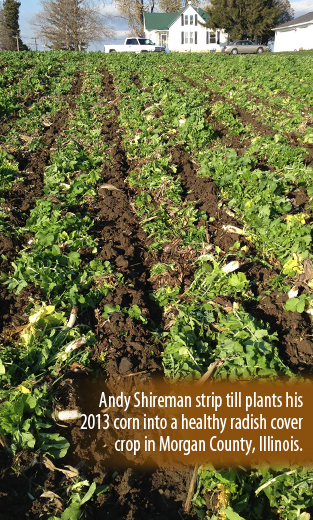 Andy Shireman strip till plants his 2013 corn into a healthy radish cover crop in Morgan County, IL.