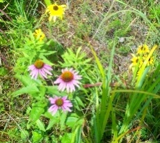 A variety of wildflower species desired by pollinators