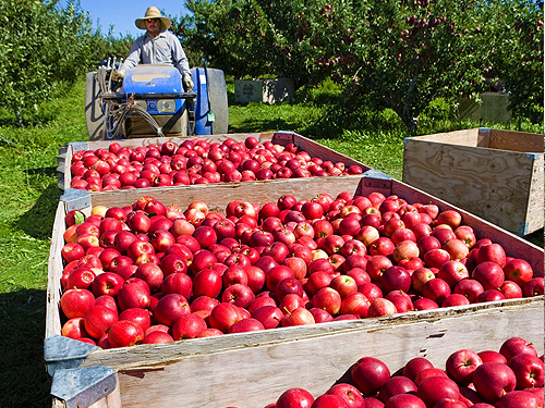 Ripe apples picked and on their way to be bagged at a South-central Washington orchard.