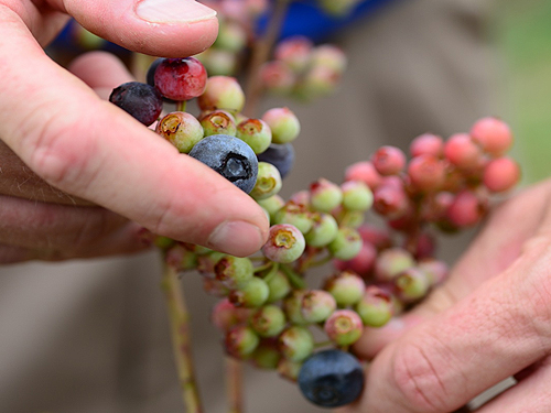 Picking ripe blueberries in Grand Bay, Alabama.