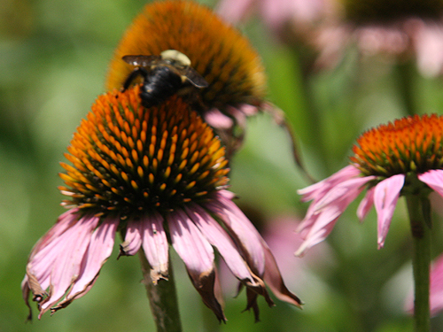 Bumblebee pollinating a purple coneflower in Iowa.