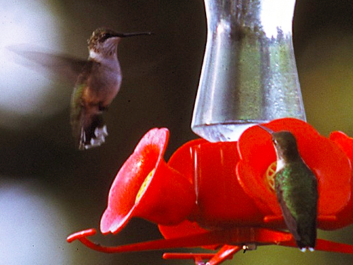 A hummingbird feeder attracts hummingbirds to a backyard in Story County, Iowa.