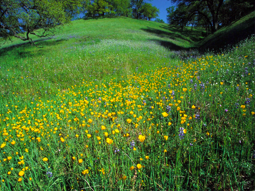 This hillside in northern California is covered by wildflowers.