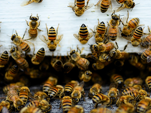 Honeybees on a farm in Grand Bay, Alabama.