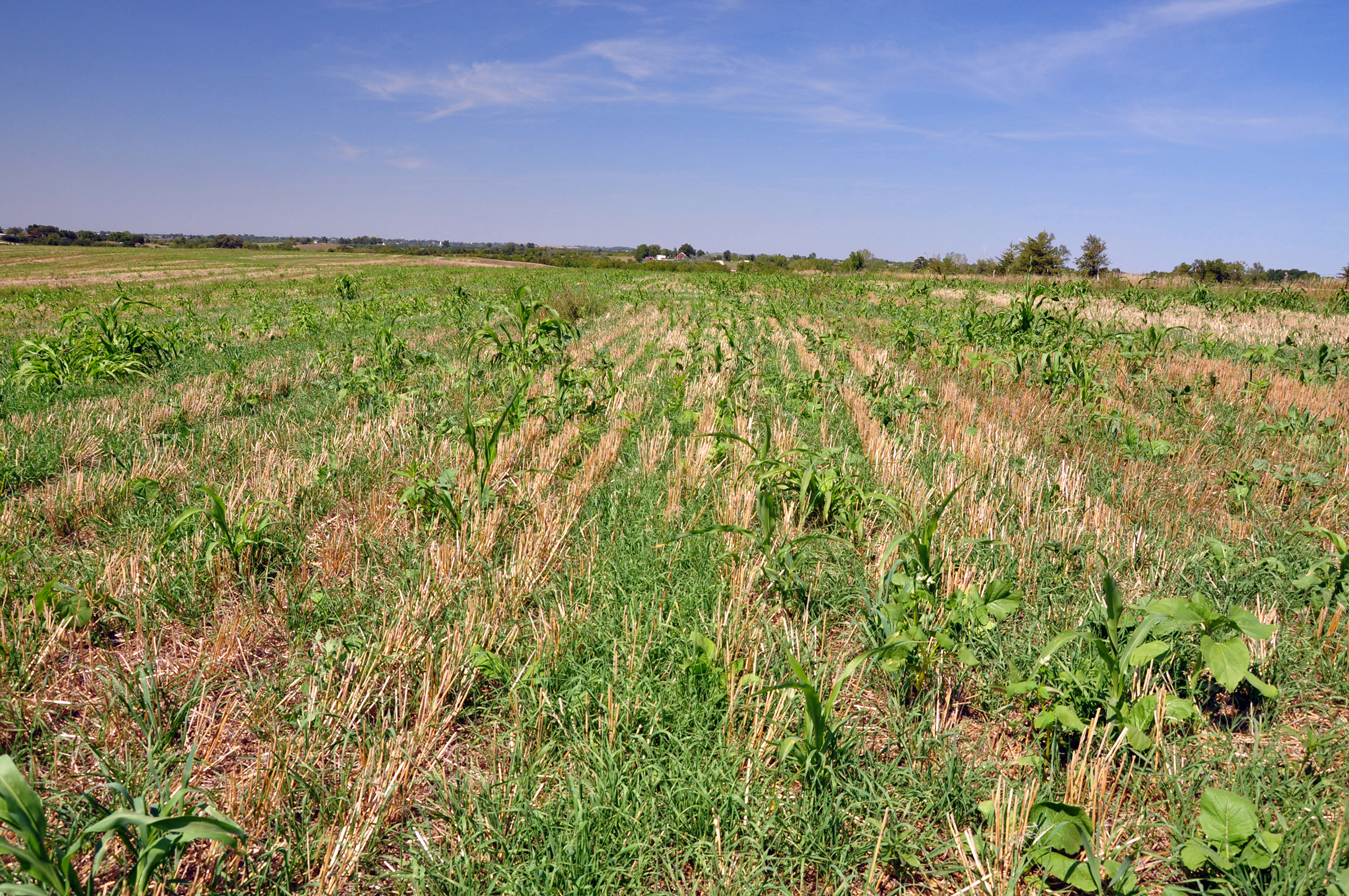 A cover crop mixture grows into terminated wheat on a farm in Taylor County.