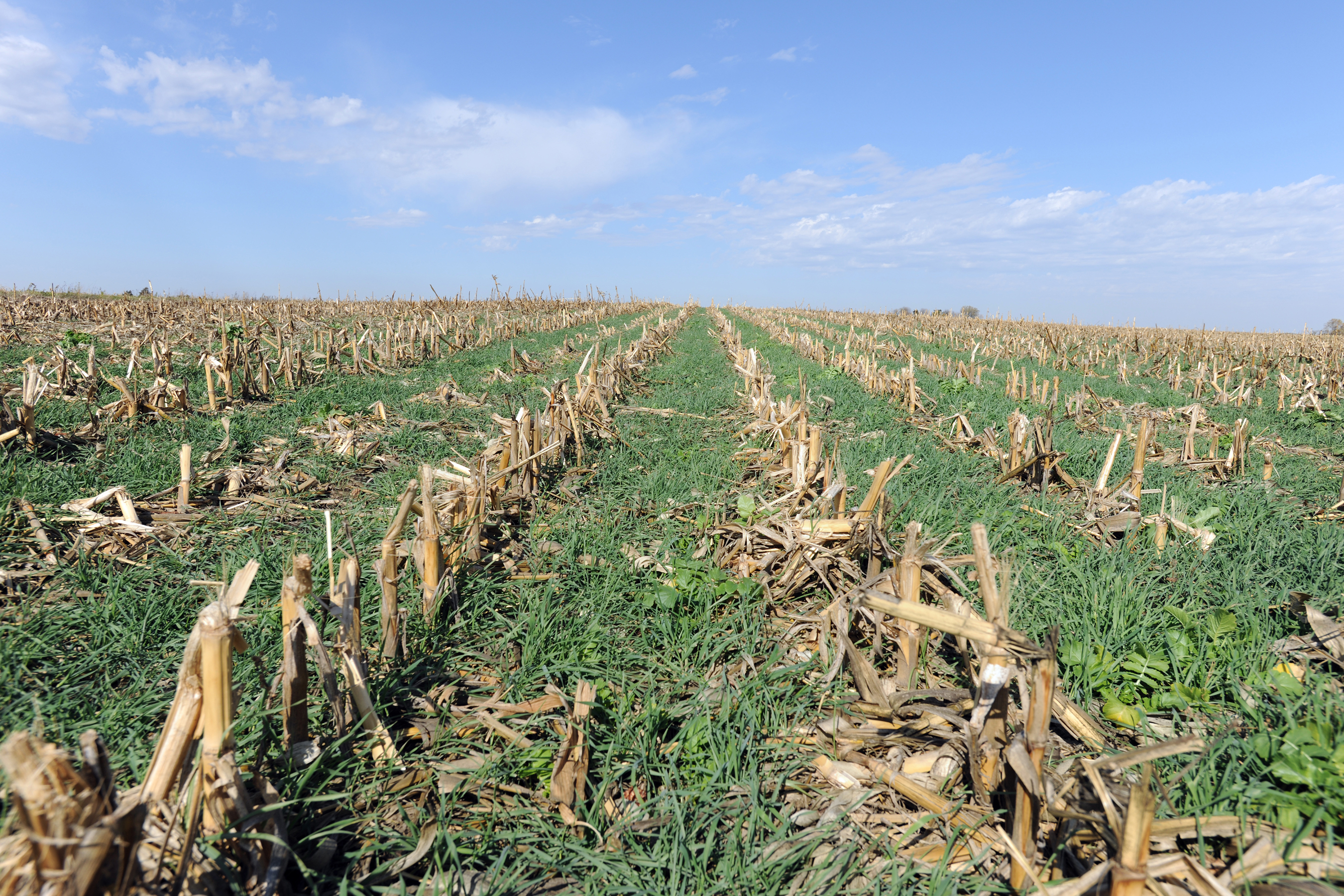 A cereal rye cover crop grows into corn stubble after harvest.