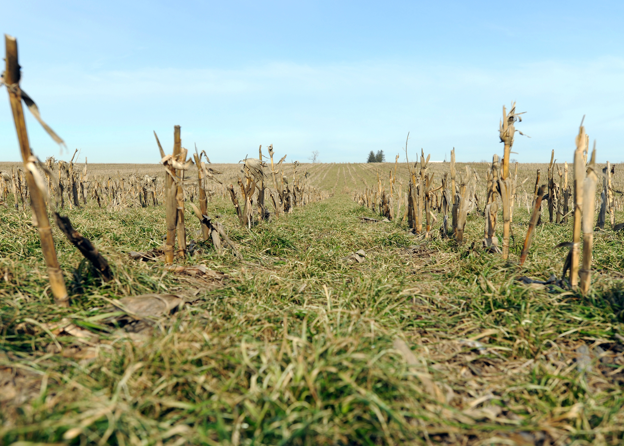 Cereal rye grows between rows of corn stubble on a farm in Tama County.