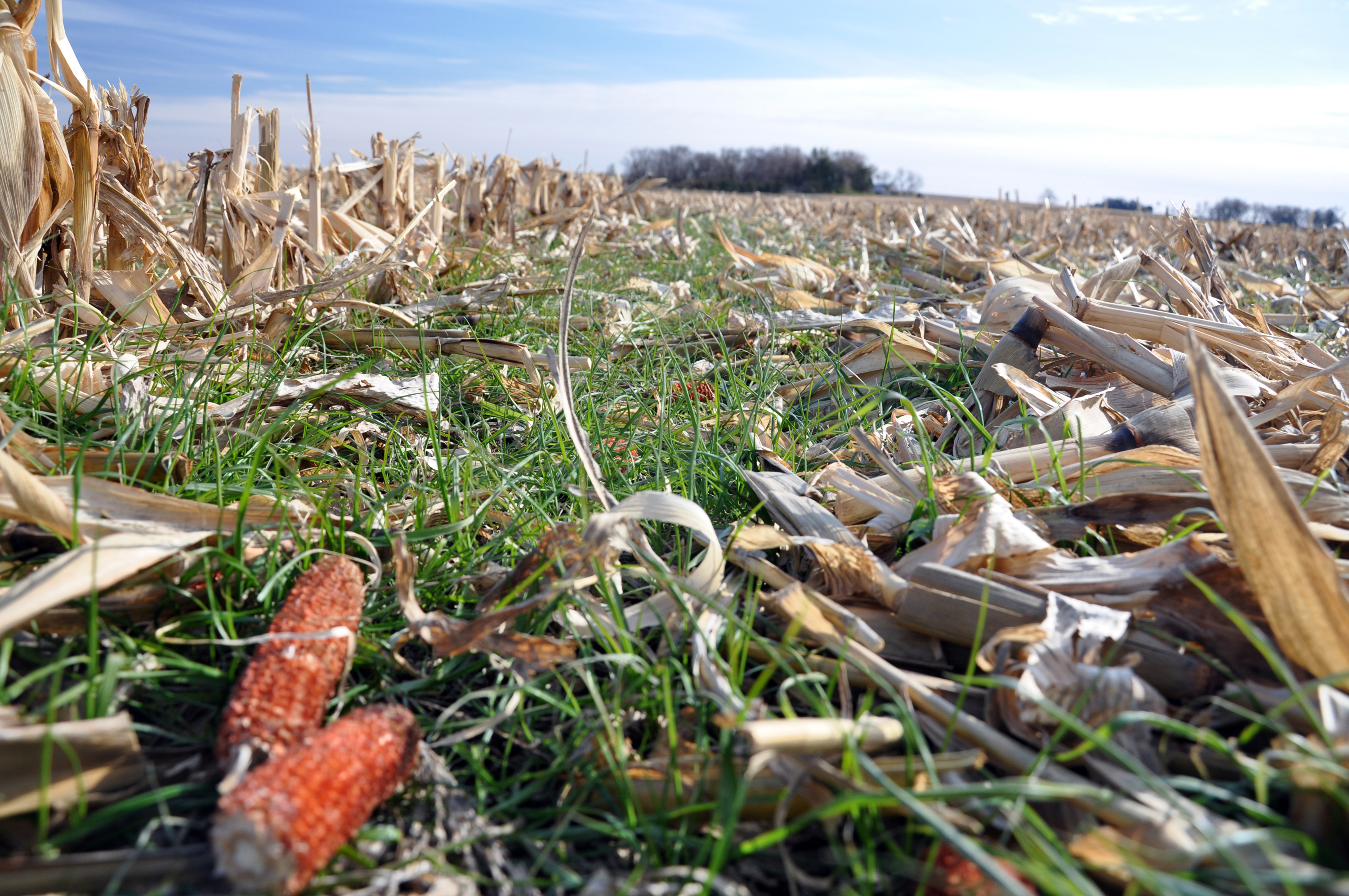 East Pottawattamie County farmer Pete Hobsom uses annual ryegrass as cover following corn harvest.