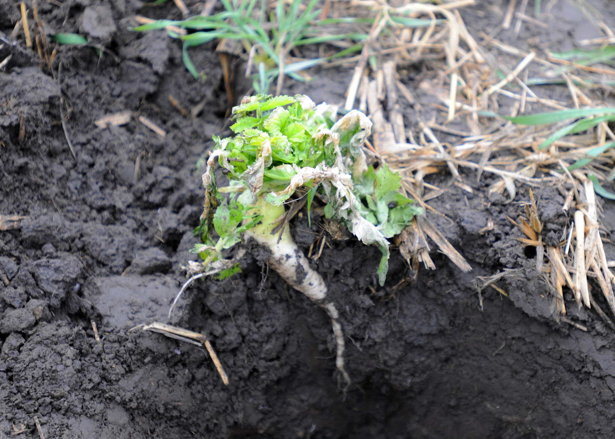 The small tillage radish still has a long tap root to allow water infiltration.