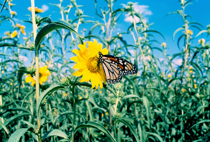Monarch butterfly on Maximilian sunflower