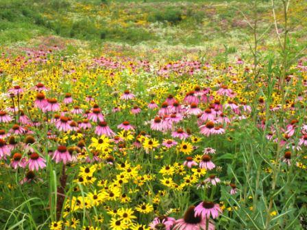 Purple Coneflower Blackeyed Susans on Larry Burton Farm