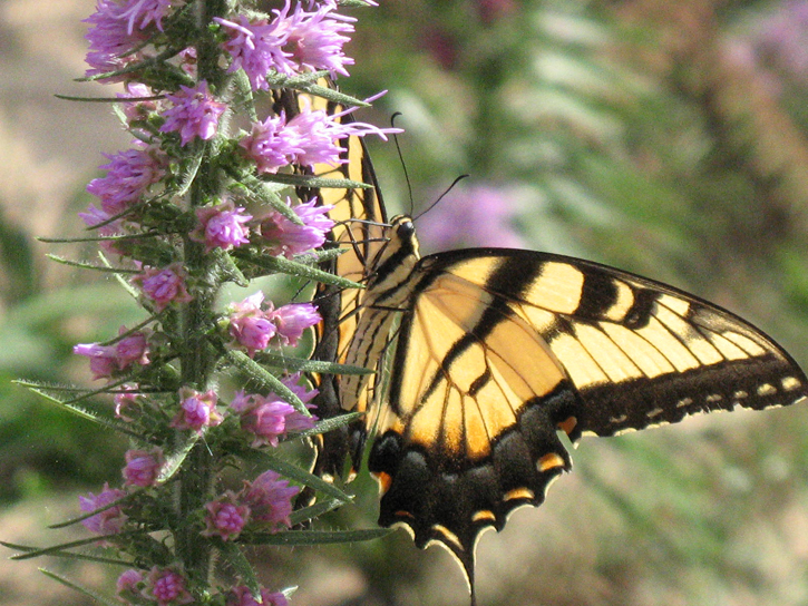 Tiger swallowtail butterfly