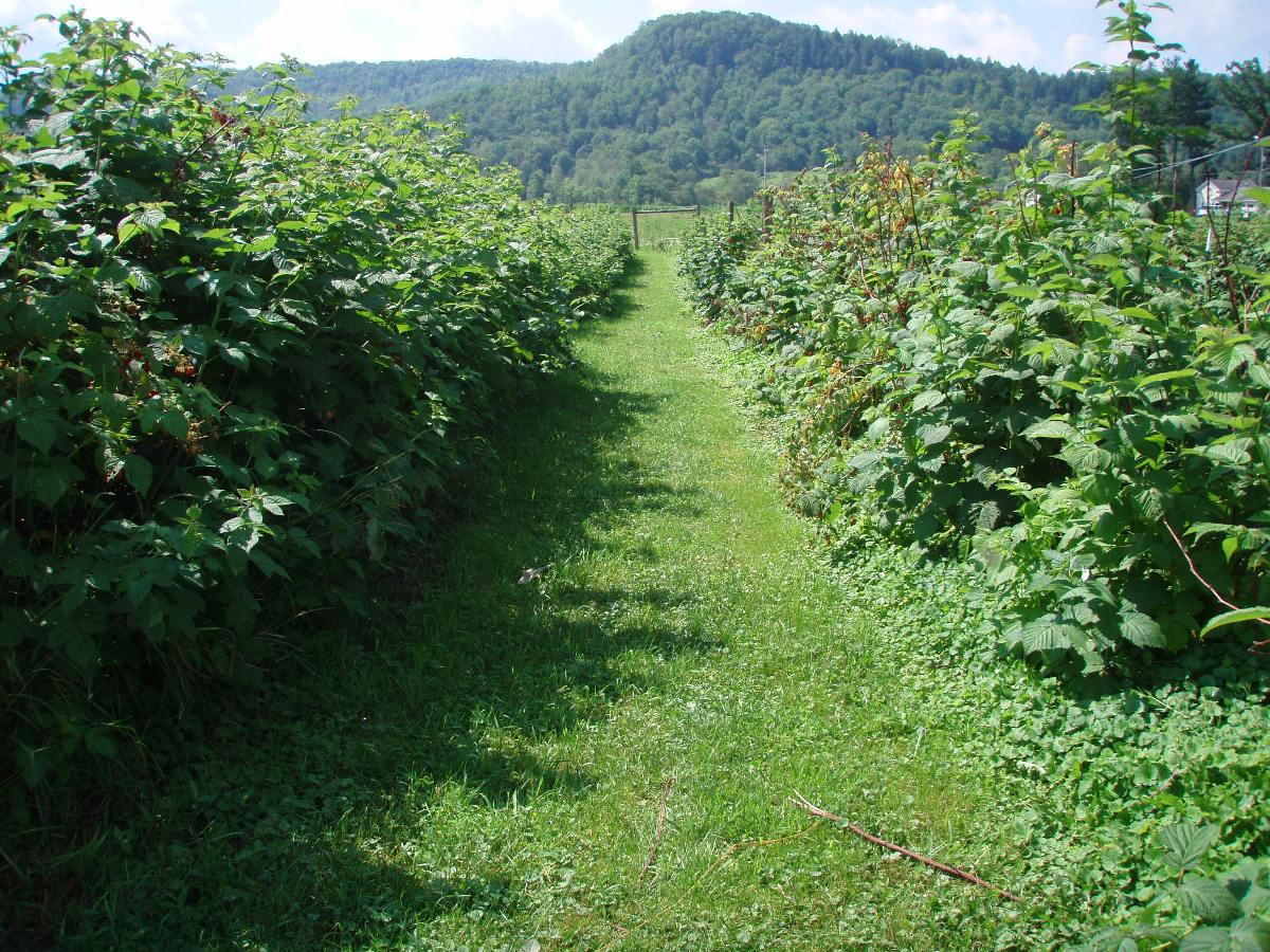 A micro-irrigation system applies water and nutrients to these rows of berry bushes
