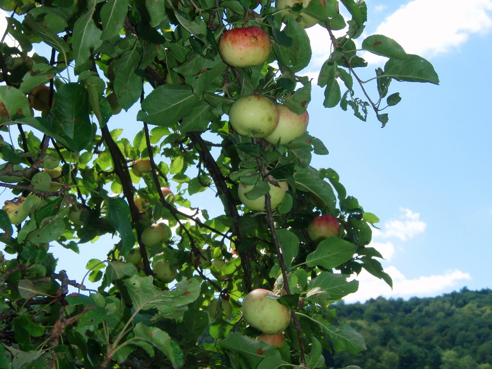 Fruit bearing trees benefit greatly when invasive species are under control