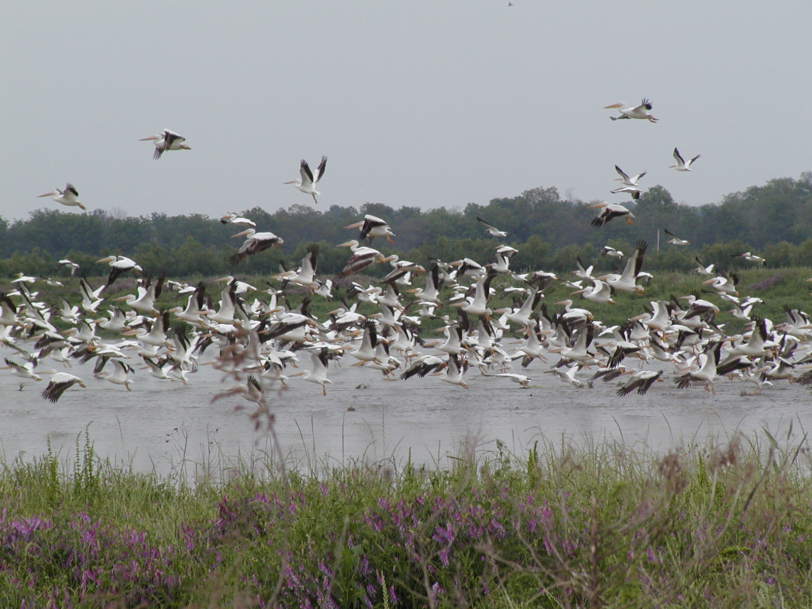 Birds flying over a wetland