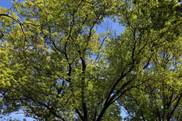 A tree canopy viewed from the ground.