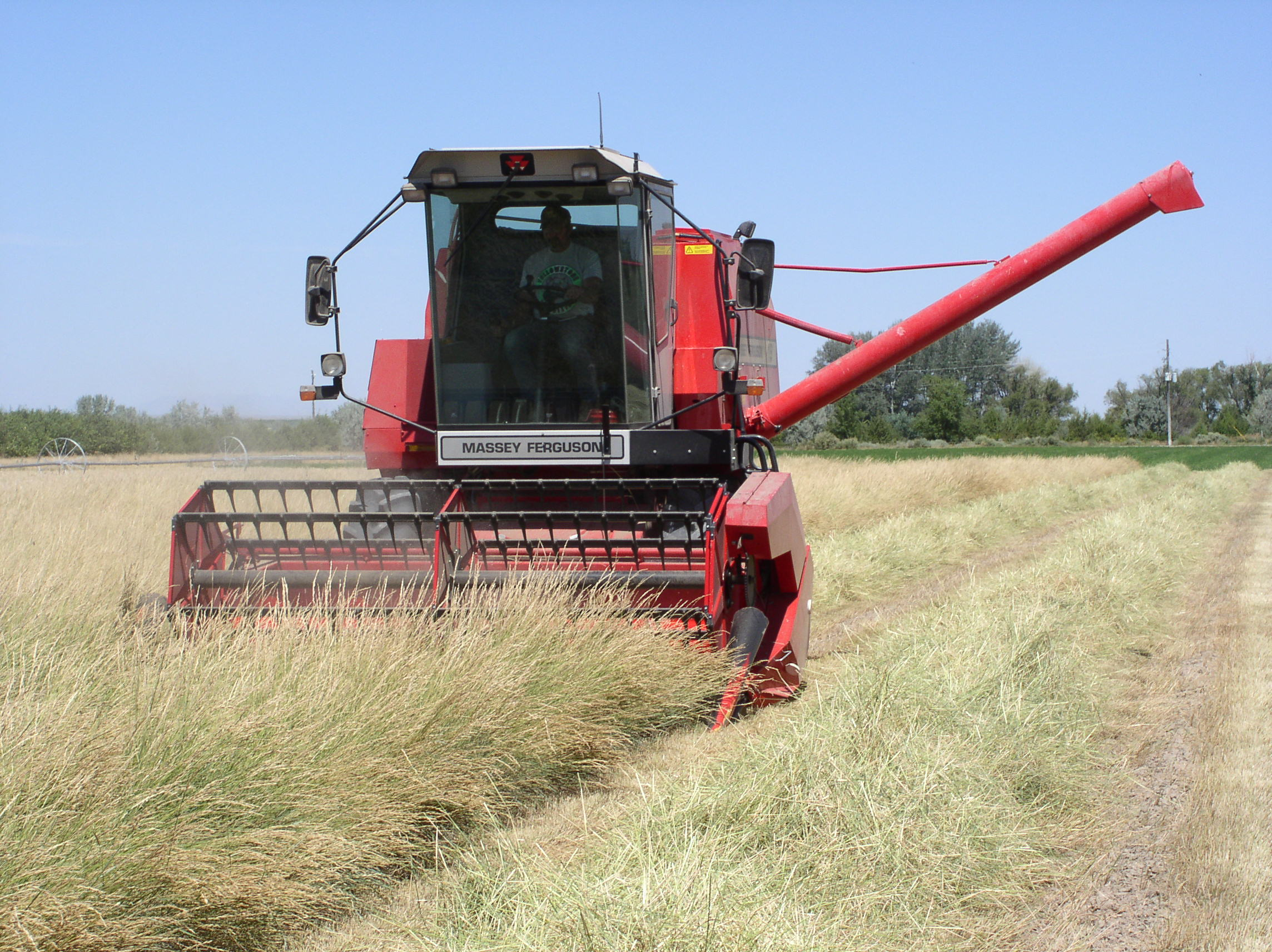 Harvesting a seed field of Recovery western wheatgrass at the Aberdeen PMC