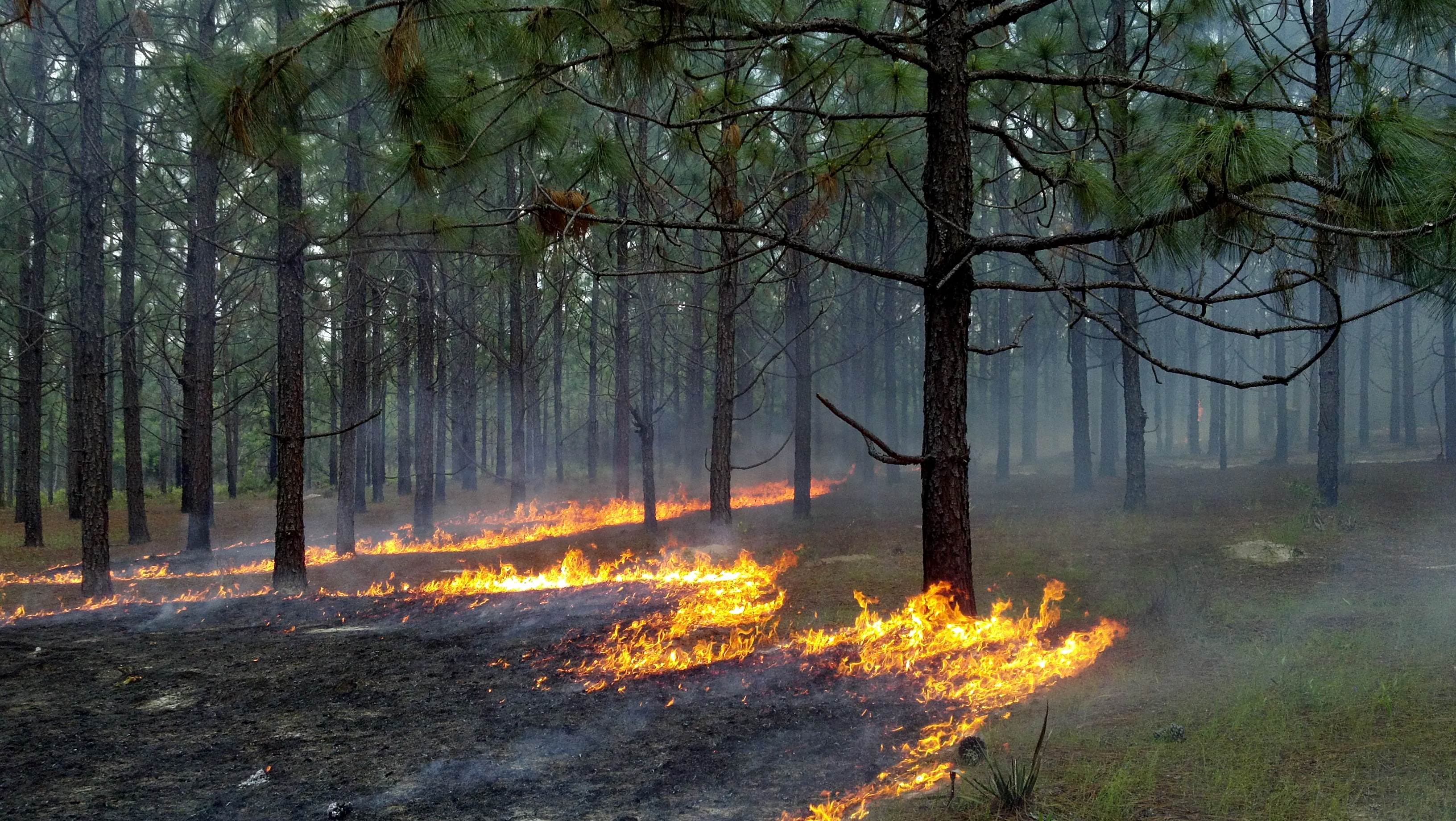 Prescribed burning helps longleaf pine forests thrive by reducing competition for longleaf pine tree