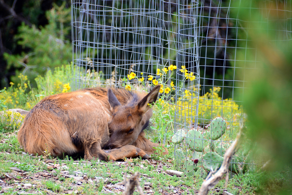A baby elk eats and rests in native grasses near the Grand Canyon South Rim Visitor Center and Mathe