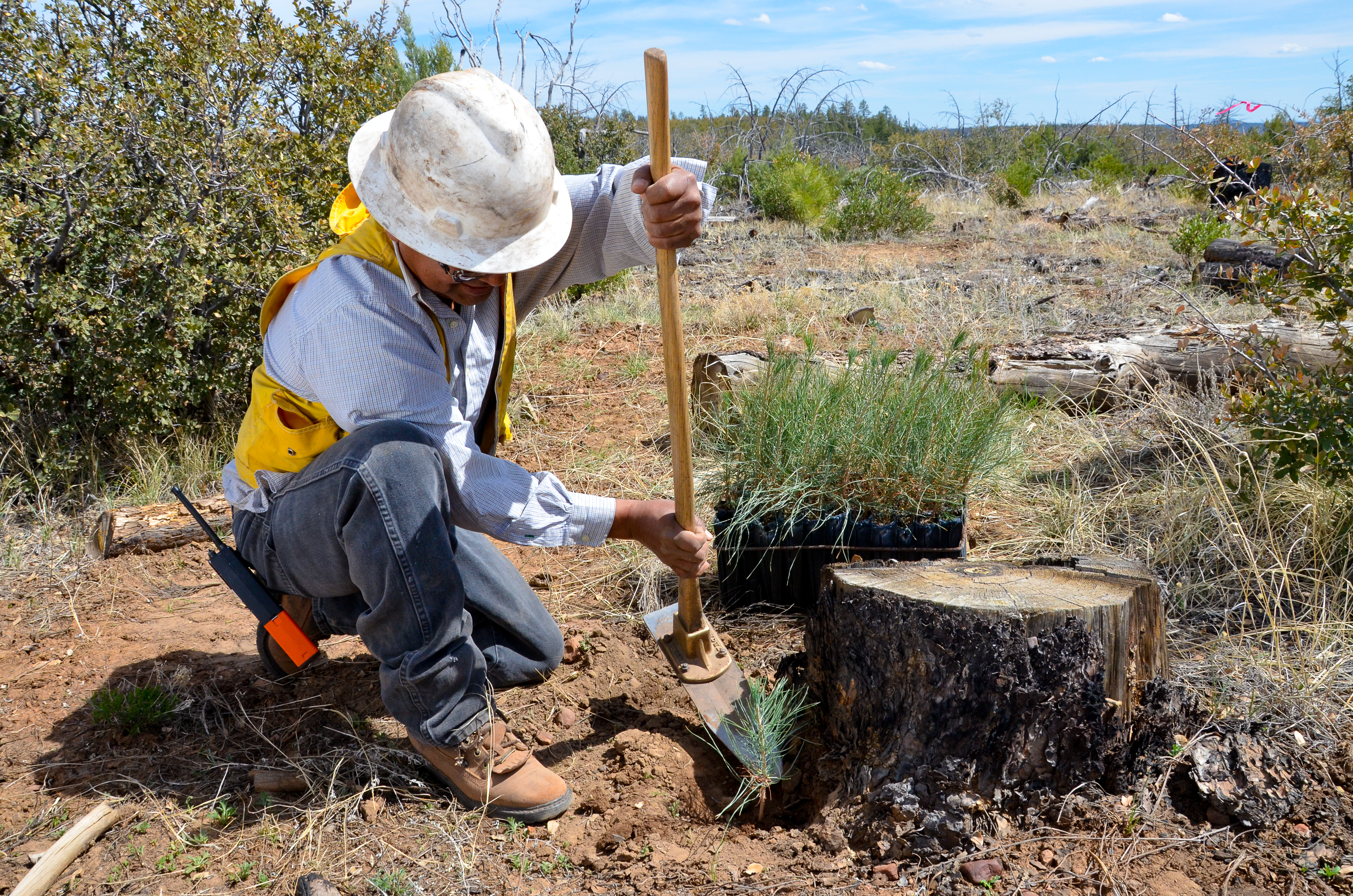 Mack Nosie, with the White Mountain Apache Tribe forestry department, uses a hoedad to dig a hole fo