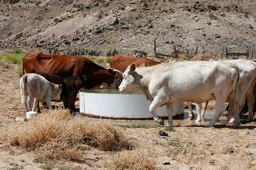 Cattle drink clean water from a new well on the Navajo Nation, dug with the help of NRCS