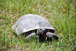 The gopher tortoise thrives in Longleaf pine habitats.