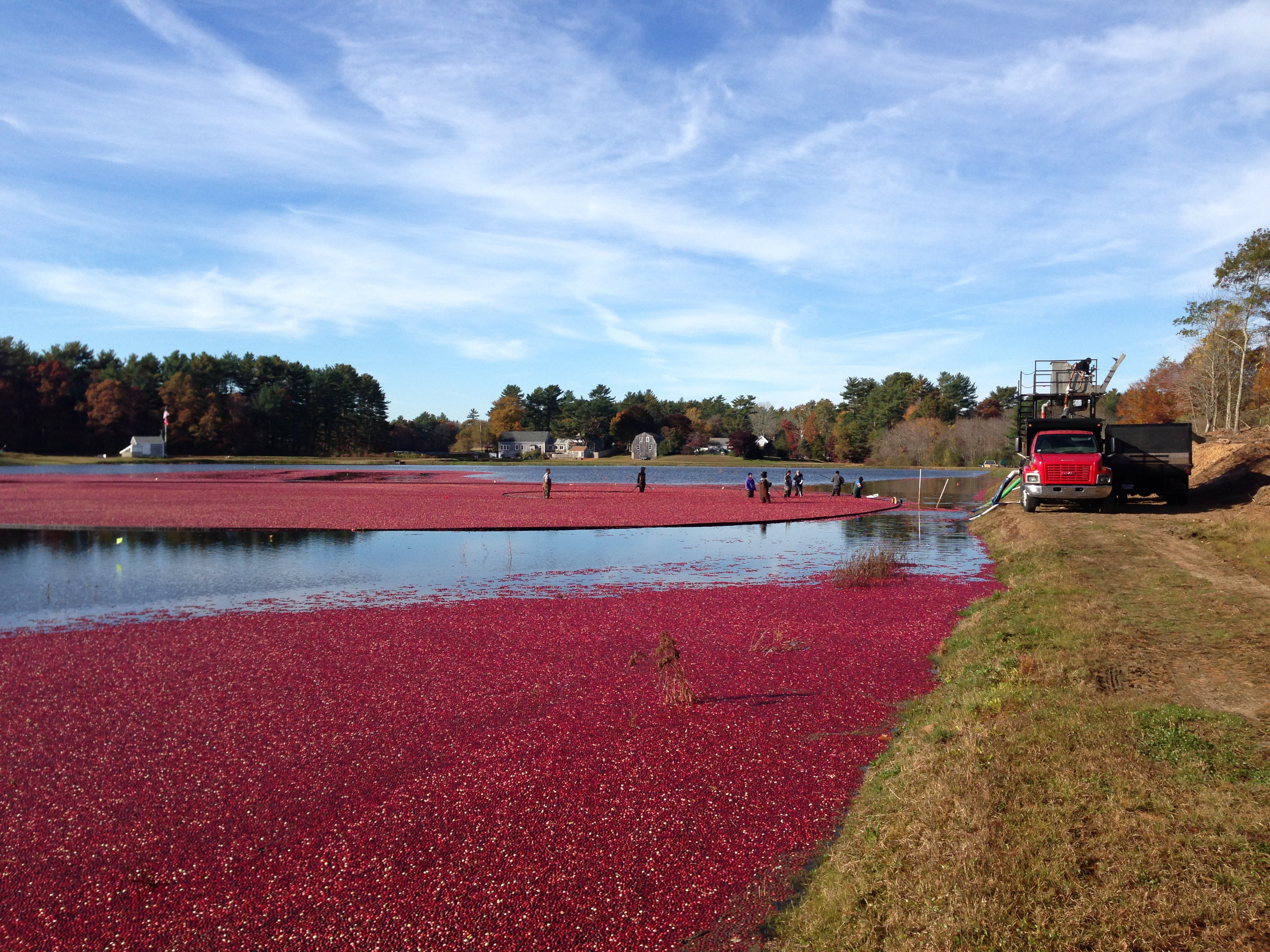 Growers load cranberries after a harvest at Mayflower Cranberries in Plympton, Mass.