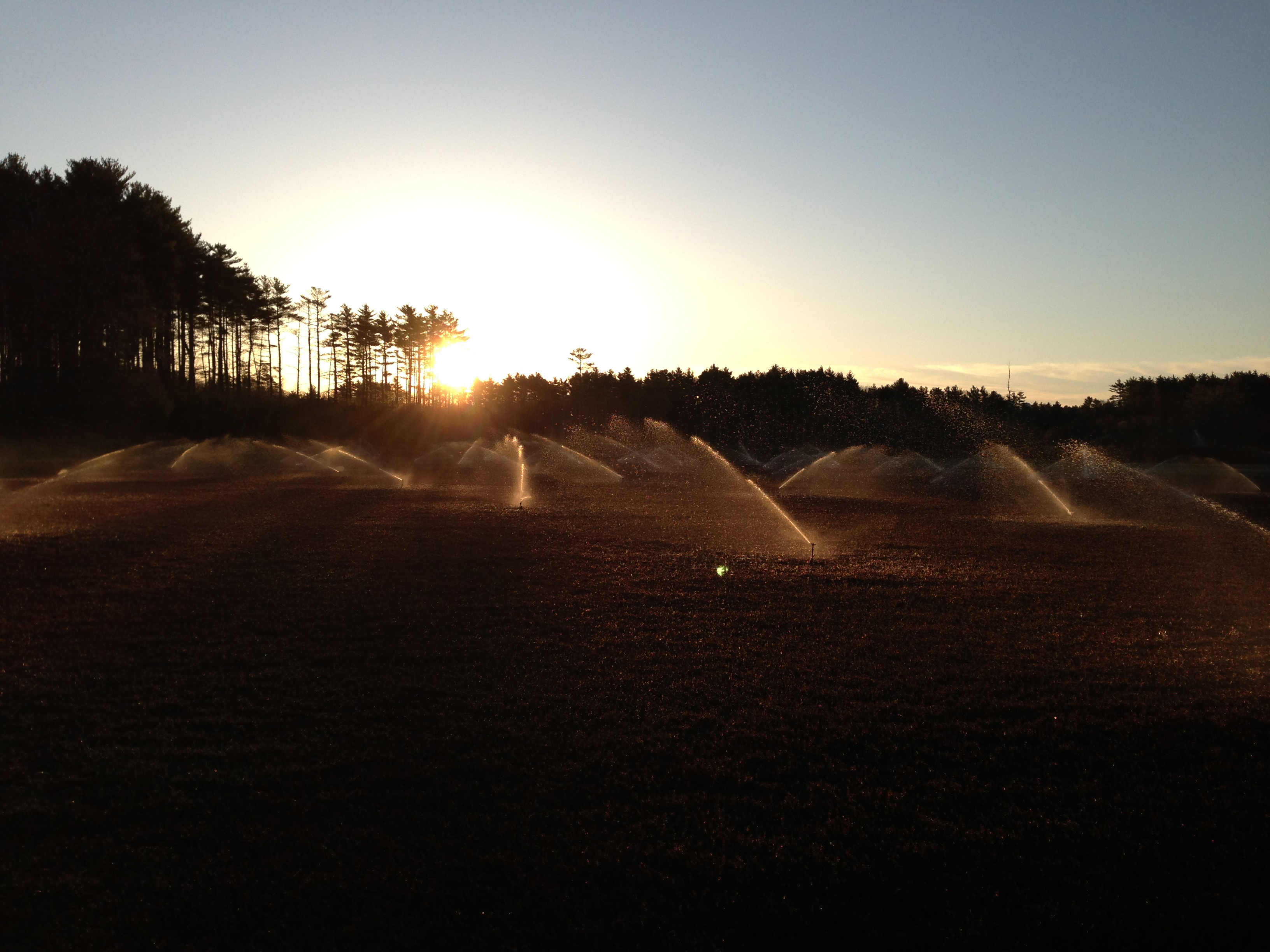 Sprinklers spray water on cranberries during a frosty morning