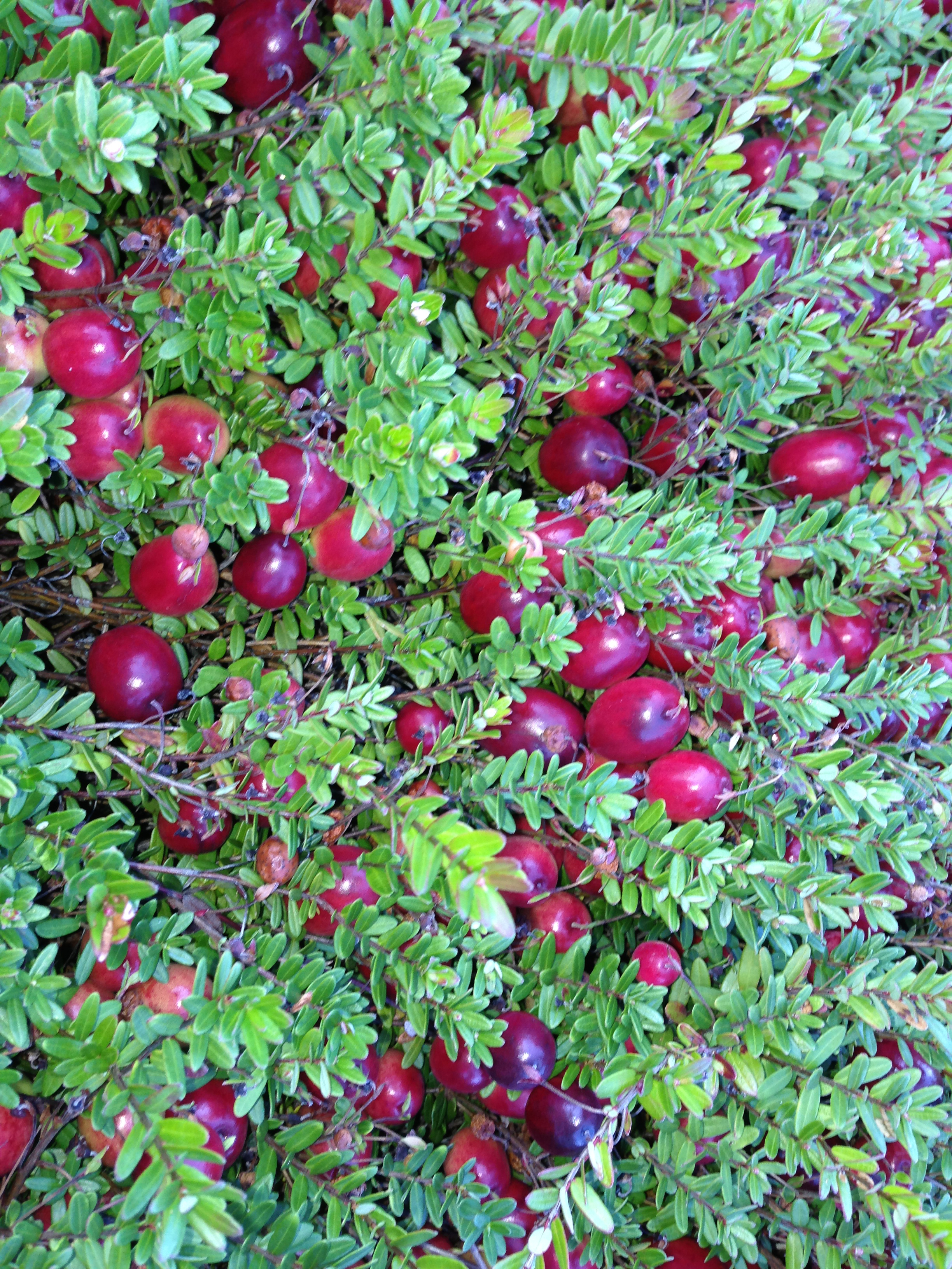 Ripe berries on the vine ready to be picked at Mayflower Cranberries in Plympton, Mass