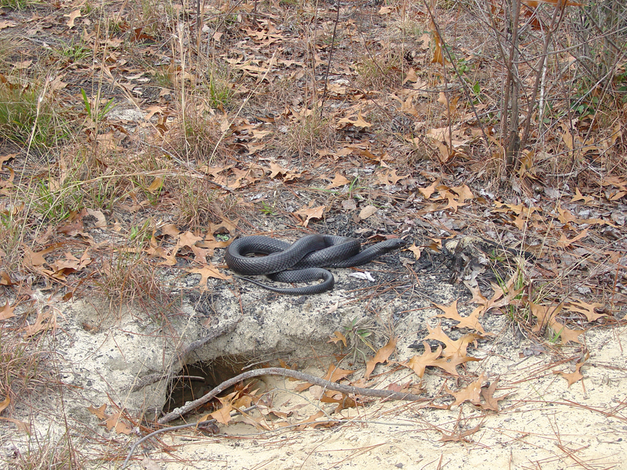An Eastern Indigo Snake, over five feet in length, outside of a Gopher Tortoise Burrow.