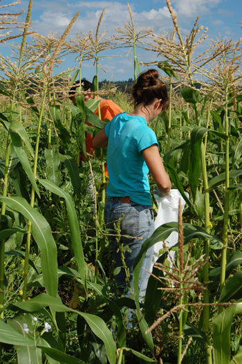Corvallis PMC staff members Amy Bartow and Tyler Ross assist with the sweet corn harvest for donation to a local food bank.