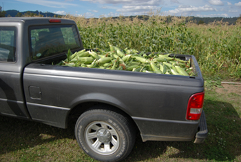 Sweet corn harvested by PMC staff (735 lbs) on the way to the Linn Benton Food Share on Sept. 3, 2013.