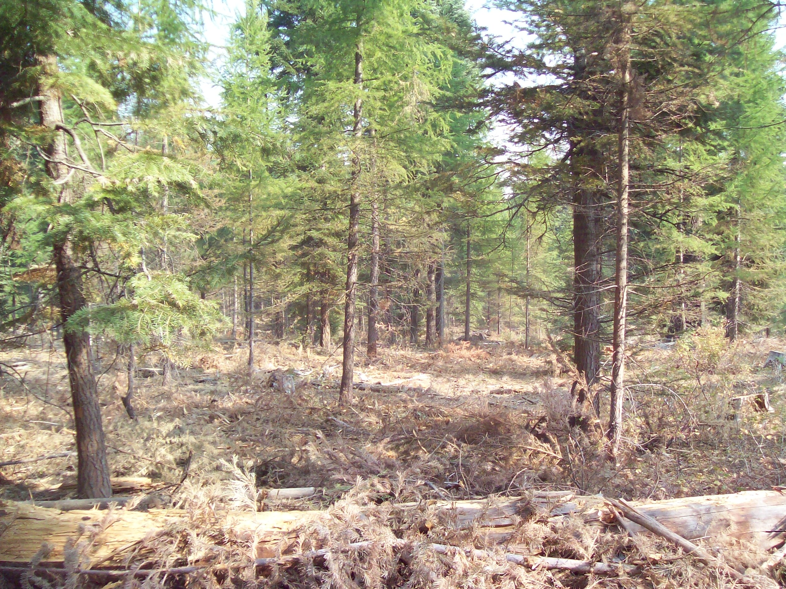 Forest in Elk Horn Mountains after fuel reduction and forest health improvement activities.