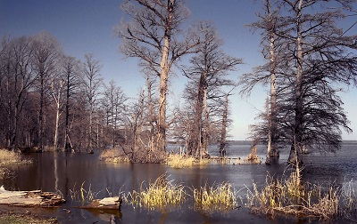 Reelfoot Lake in Lake County, Tennessee. It is the largest natural lake in Tennessee.