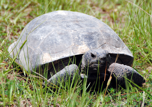 A gopher tortoise in Seminole County, GA