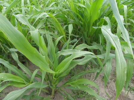 Cover Crop, Pearl Millet, 30 days following planting