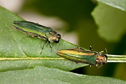 A closeup photo of a pair of Emerald Ash Borers