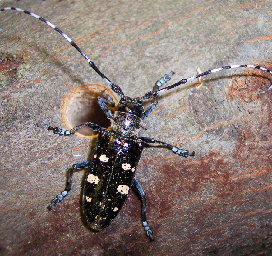 asian longhorn beetles