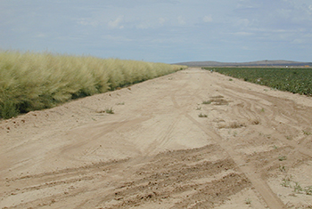 2005 Big sacaton windstrip planting in Columbus, NM protecting adjacent cropland next to road