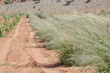 2008 Big Sacaton windstrip on the Navaho Nation near, The Gap, Arizona for dryland planting protecting dryland cropland
