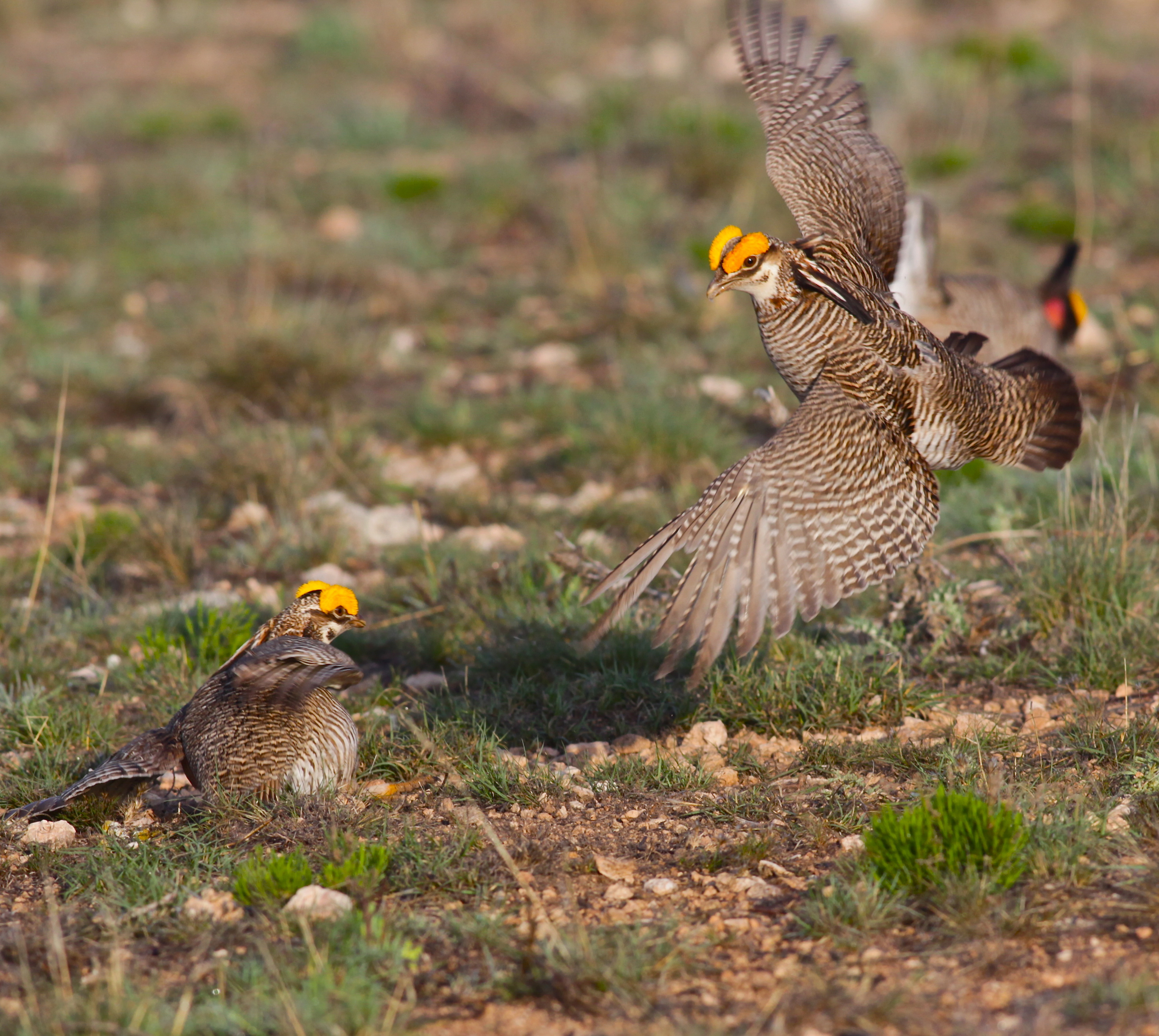 The lesser prairie-chicken is a grassland-nesting bird of the southern Great Plains. Photo by Linda
