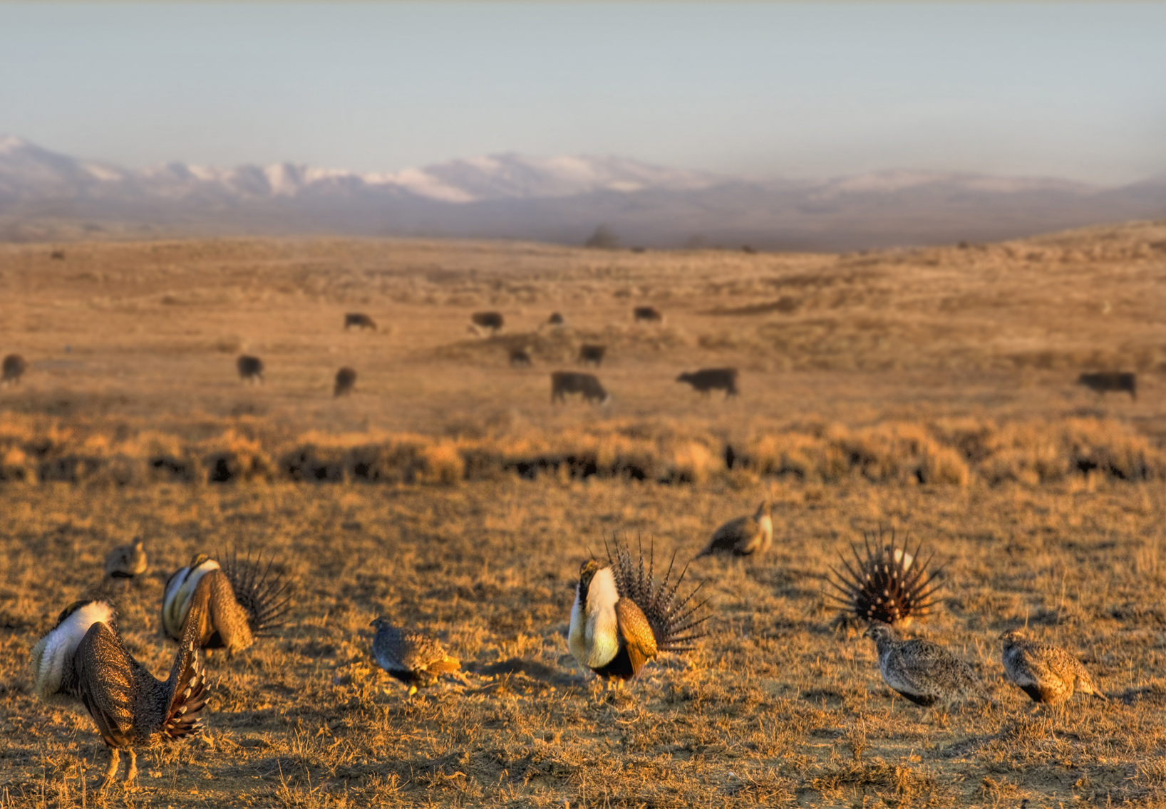The greater sage grouse thrives in the sagebrush landscape of the West. NRCS photo.