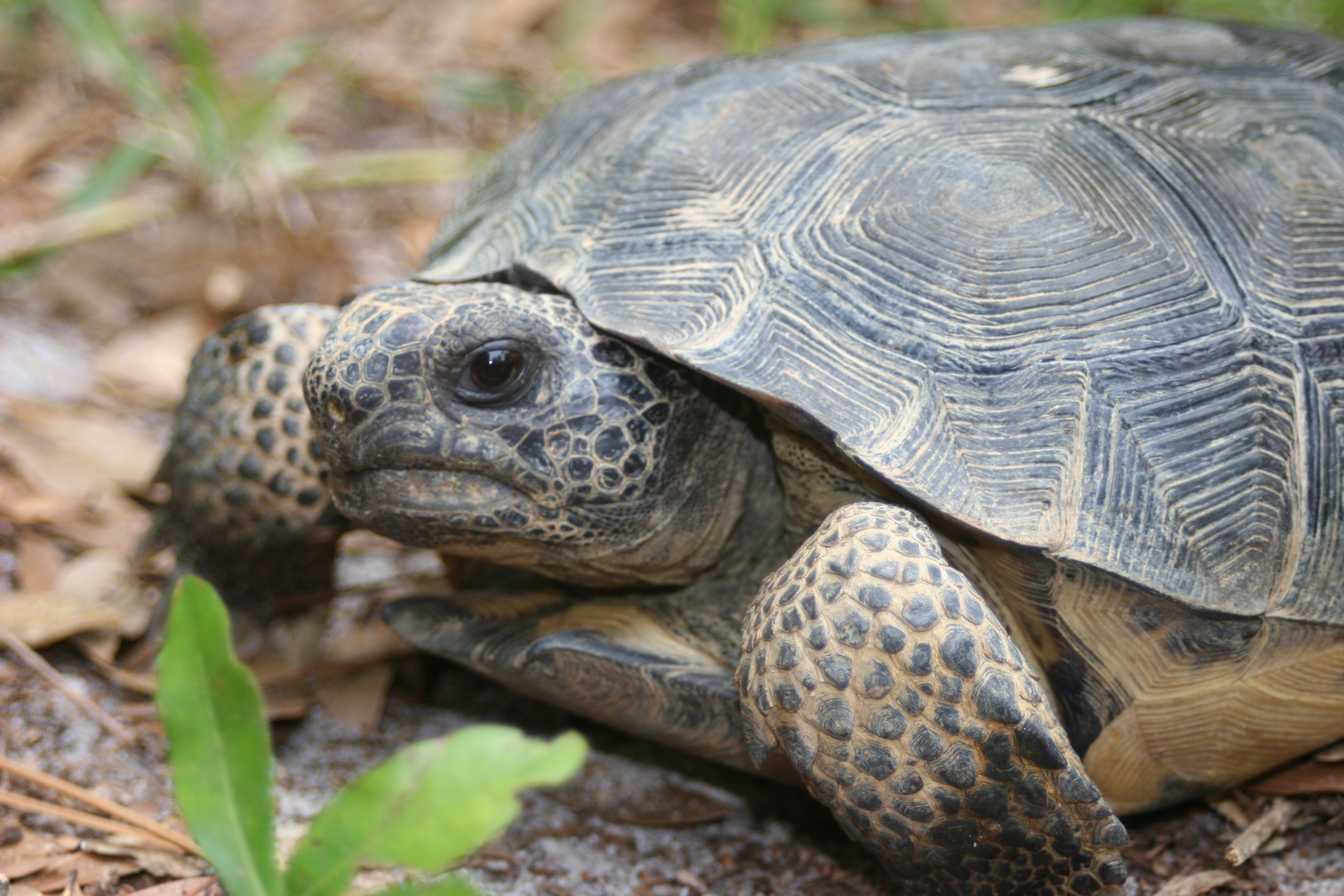 The gopher tortoise is the keystone species of the Southeast's longleaf pine forests. More than 300