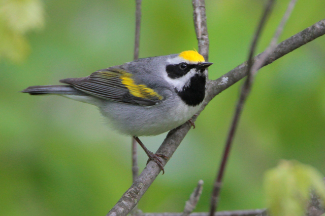 The golden wing warbler depends on thick, shrubby habitat, and NRCS is helping with owners and manag