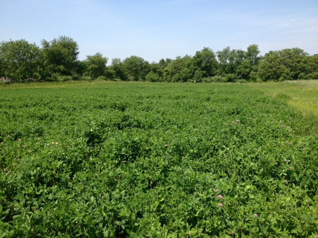 multi species cover crop: vetch, rye, radish, partridge pea