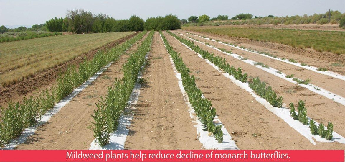 Milkweed plants help reduce decline of monarch butterfly