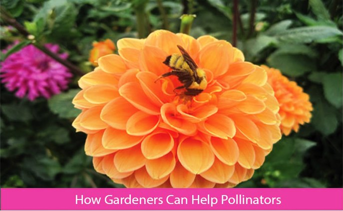 How Gardeners Can Help Pollinators