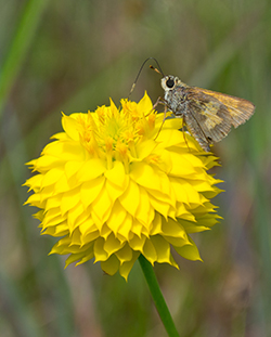 A moth lights atop Yellow Milkwort at Archbold Science Station.