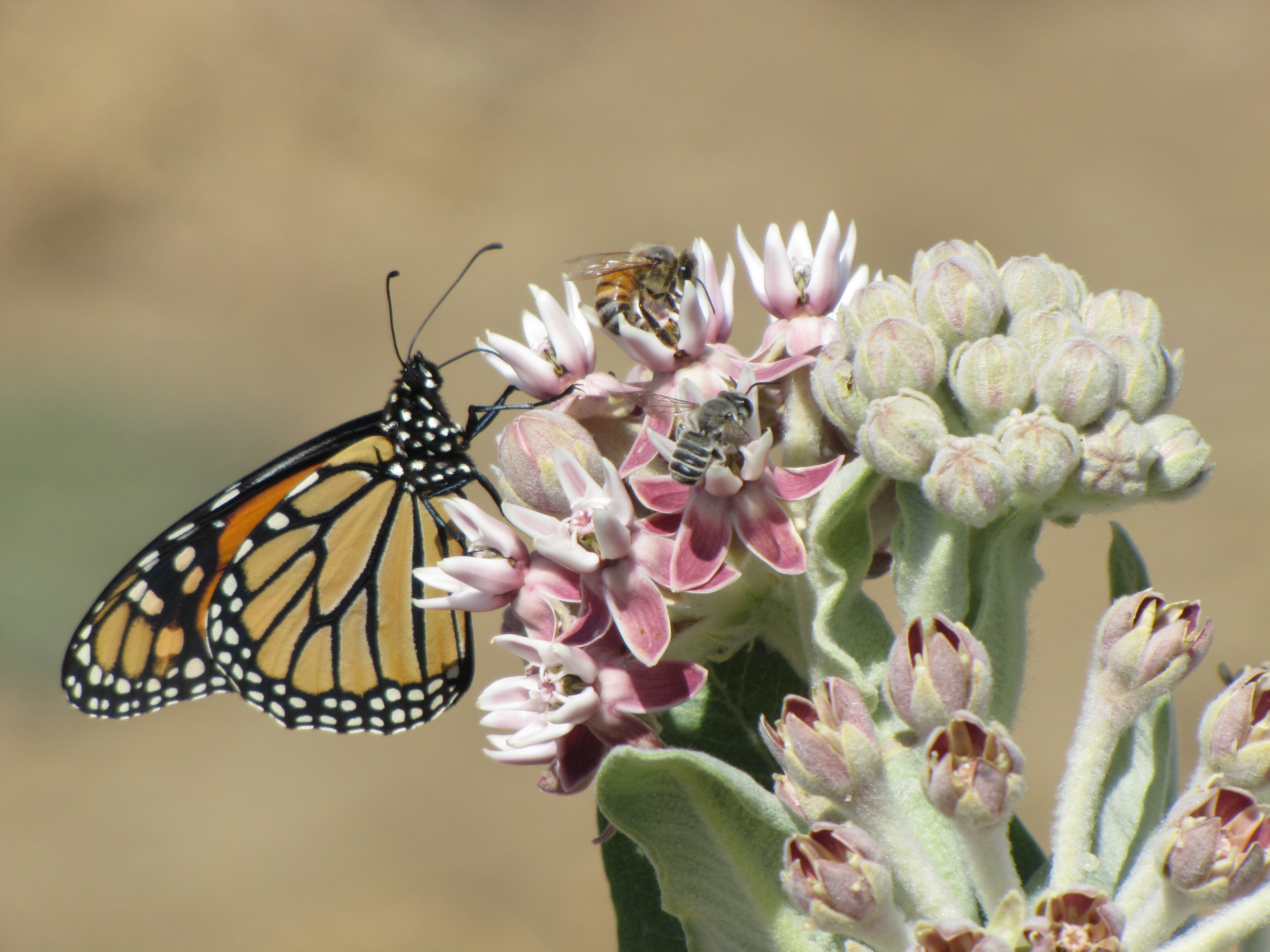 A monarch butterfly, a honey bee and an alfalfa leafcutter bee gather nectar from a showy milkweed. NRCS photo.