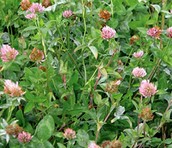 Photo of Red Clover frost seeded
